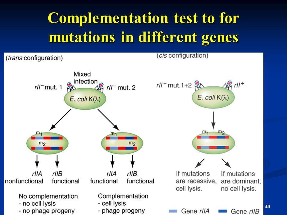 Complementation test to for mutations in different genes