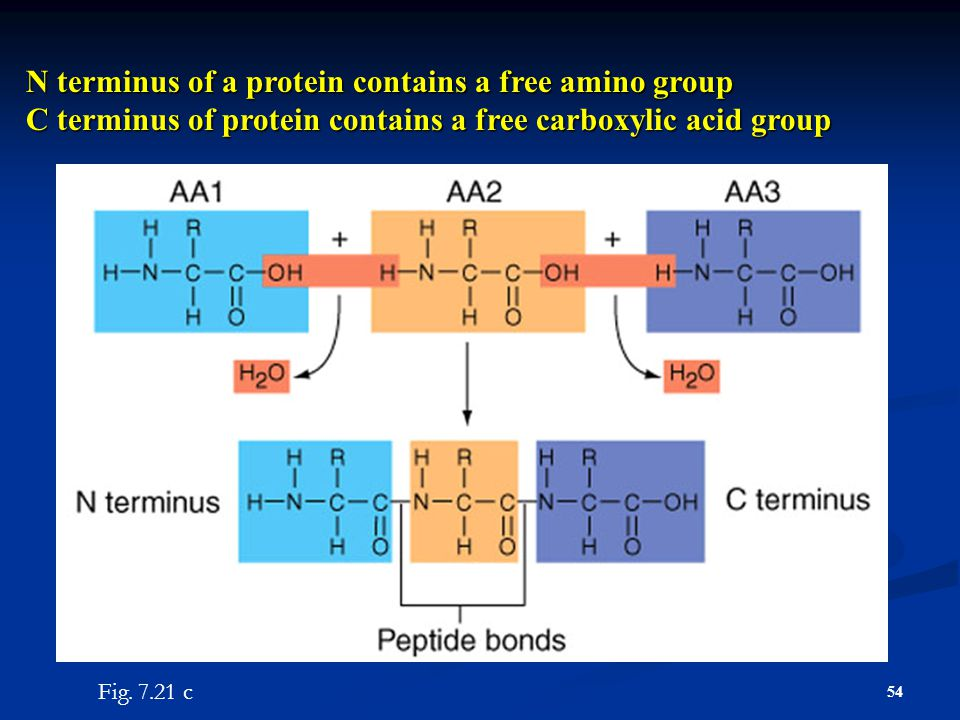 N terminus of a protein contains a free amino group