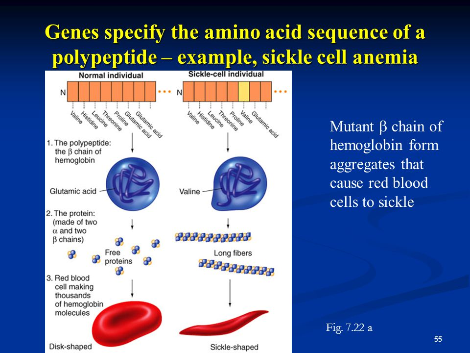 Genes specify the amino acid sequence of a polypeptide – example, sickle cell anemia