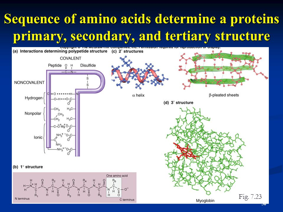 Sequence of amino acids determine a proteins primary, secondary, and tertiary structure
