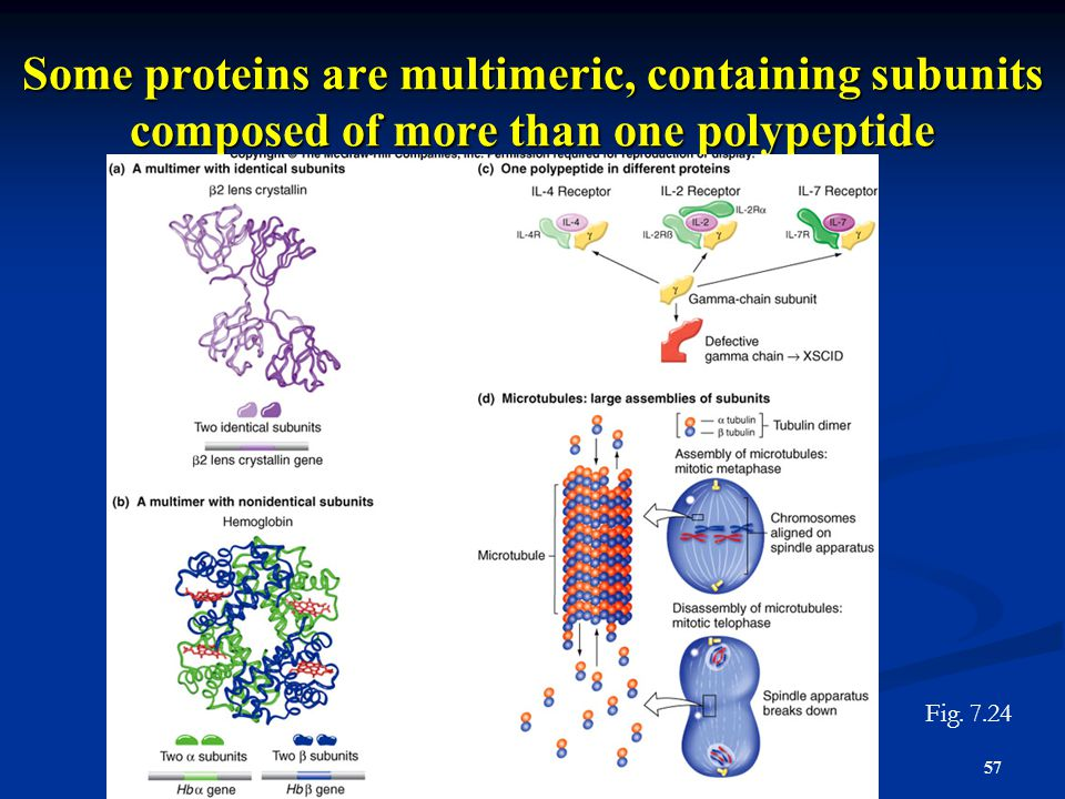 Some proteins are multimeric, containing subunits composed of more than one polypeptide