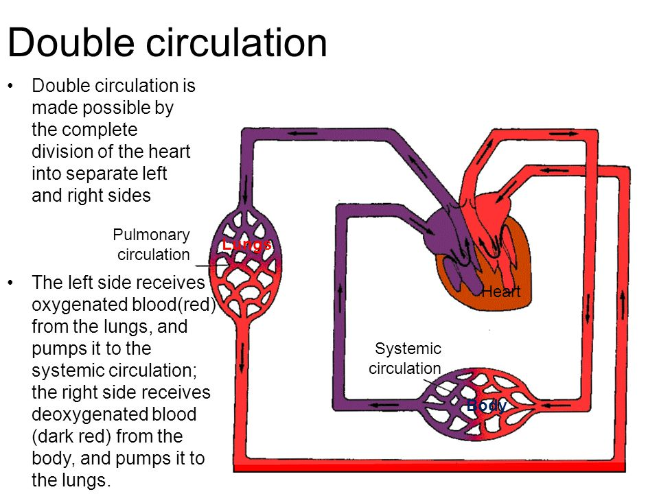Circulation for gcse biology ppt download double circulation double circulation is made possible by the complete division of the heart into separate ccuart Choice Image