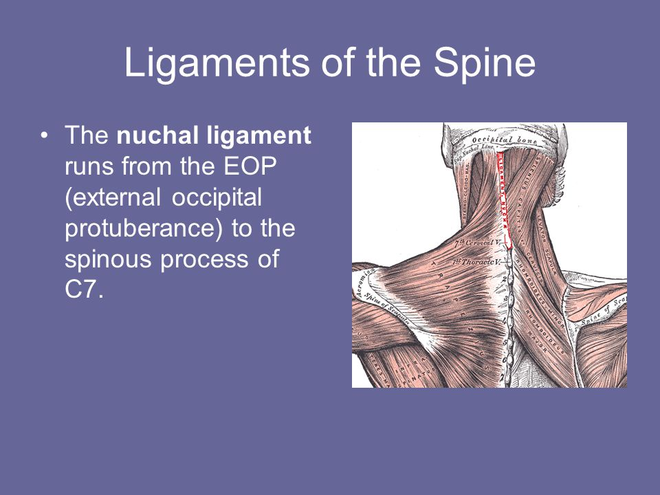 Ligaments of the Spine The nuchal ligament runs from the EOP (external occipital protuberance) to the spinous process of C7.