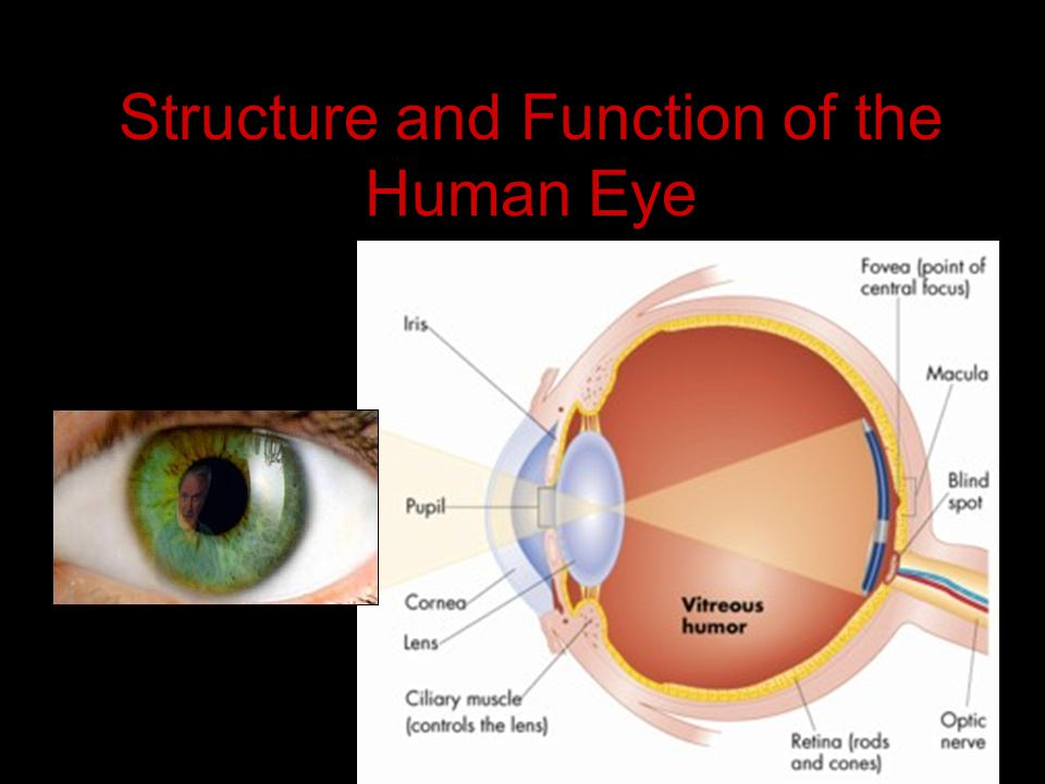 Structure and Function of the Human Eye - ppt video online download