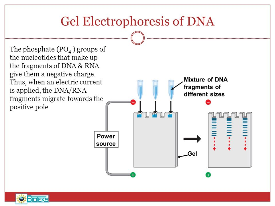 gel electrophoresis lab write up Information on mrs chou's classes formal lab write-up rubric biorad dna fingerprinting lab - gel electrophoresis post-lab handouts.