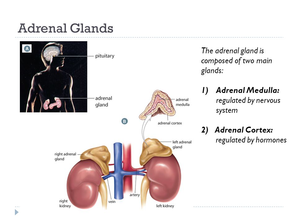 Adrenal Glands The adrenal gland is composed of two main glands: