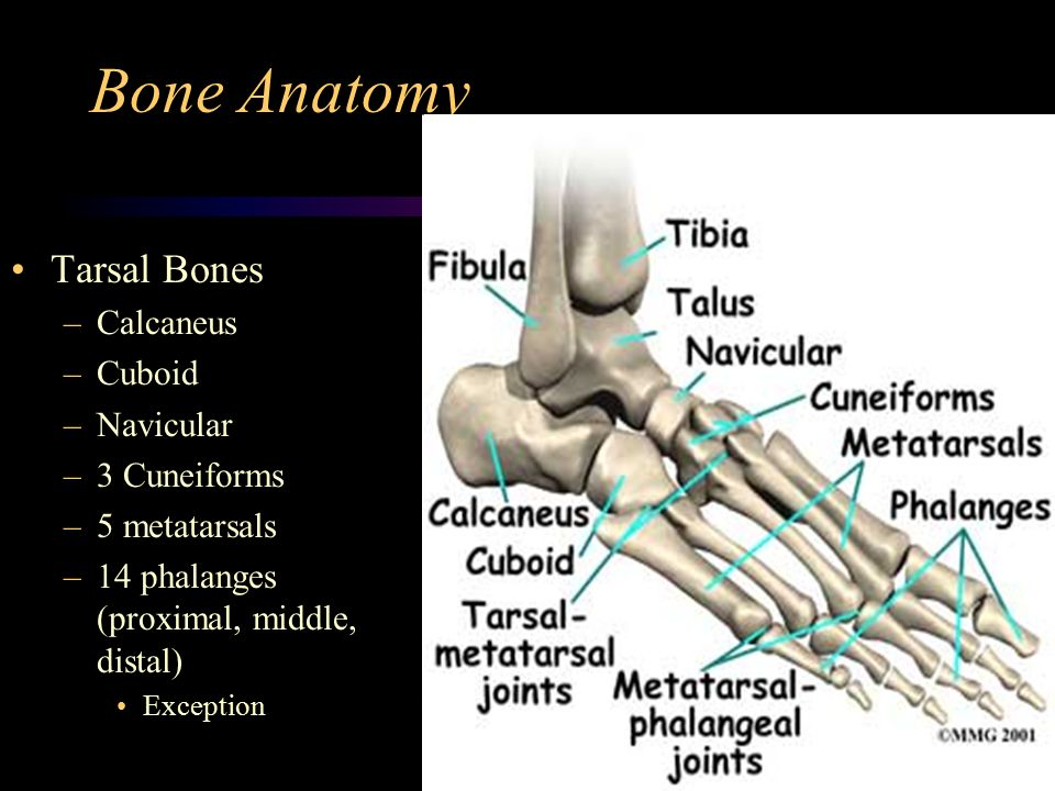 foot anatomy. - ppt video online download, Human Body