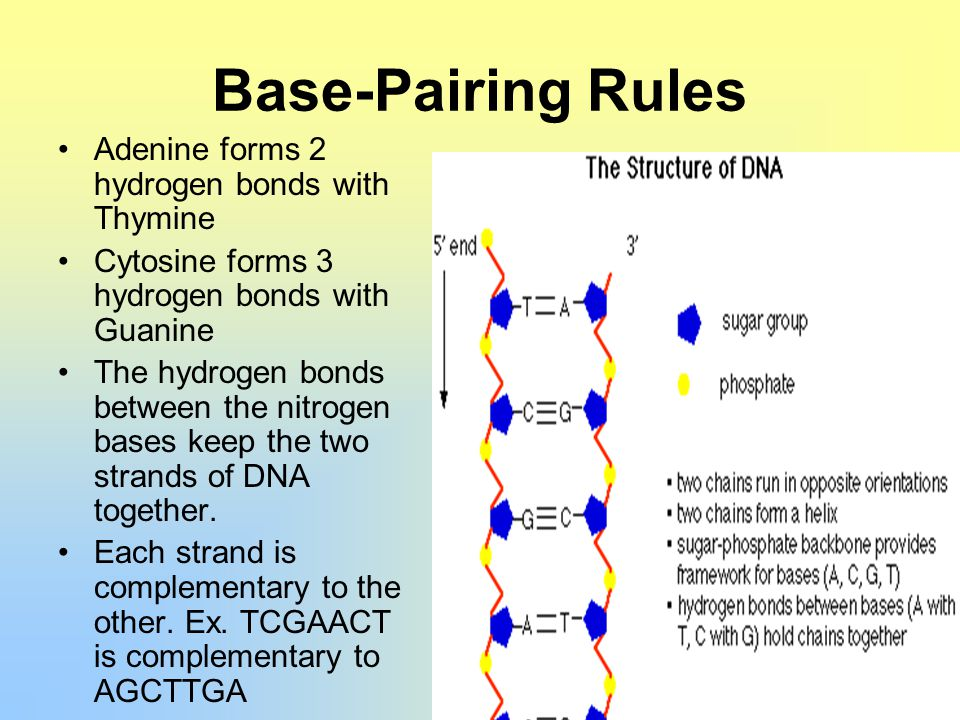dna structure essay Free essay on dna replication available totally free at echeatcom, the largest free essay community.