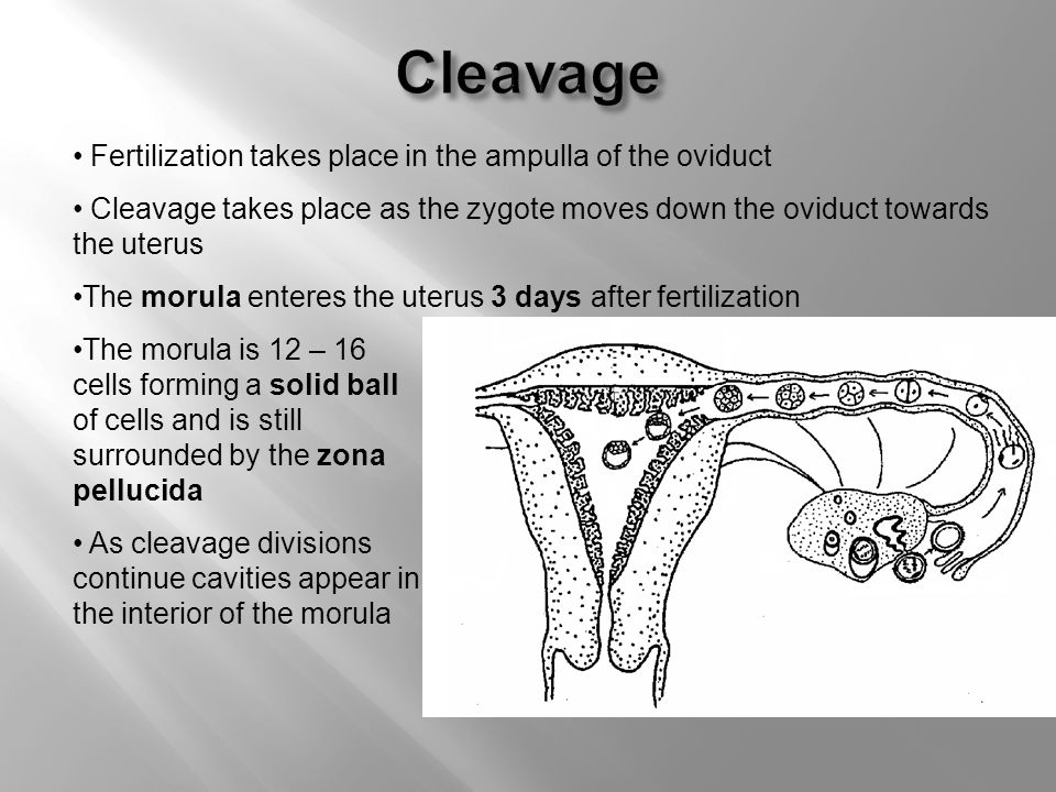 Zygote Moves Down The Oviduct Pictures 29