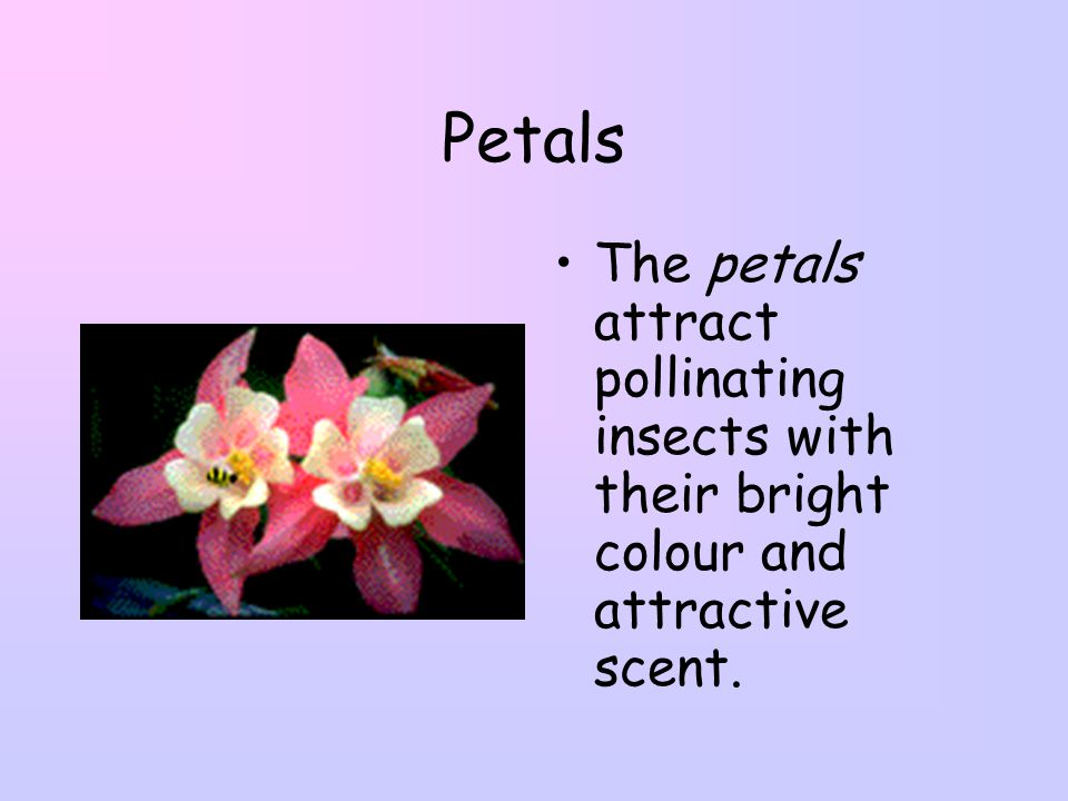 Petals The petals attract pollinating insects with their bright colour and attractive scent.