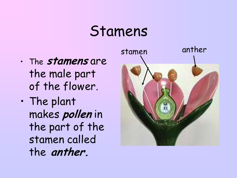 Stamens anther. stamen. The stamens are the male part of the flower.