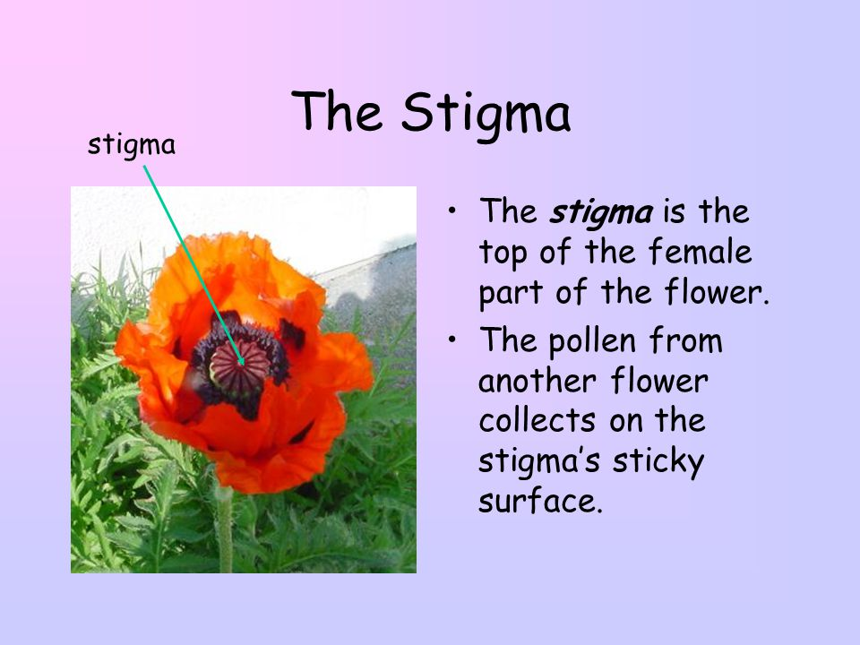 The Stigma The stigma is the top of the female part of the flower.