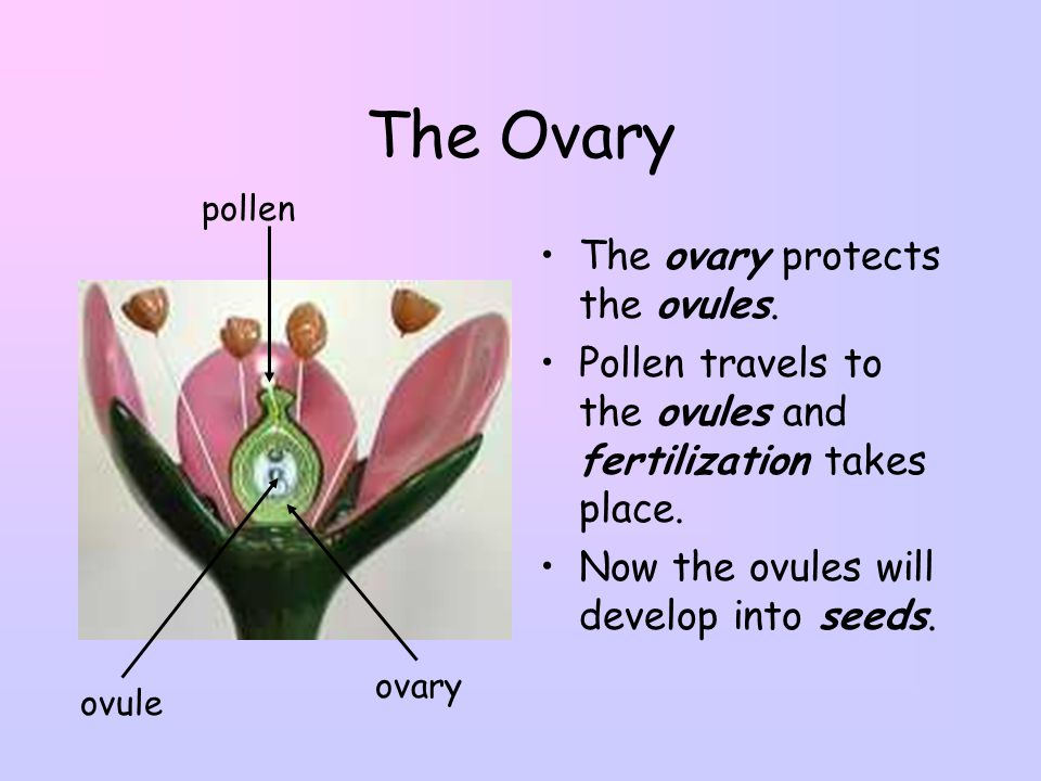 The Ovary The ovary protects the ovules.