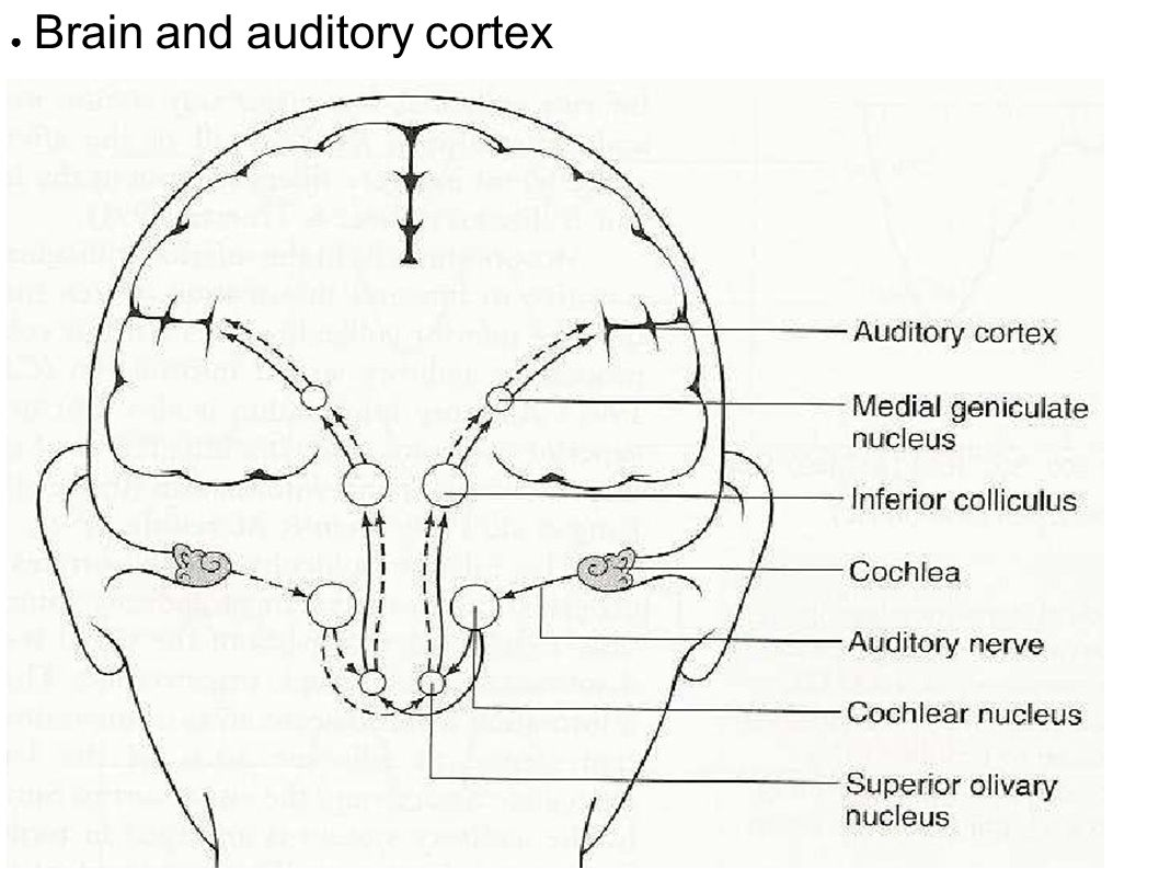 brain and primary auditory cortex An atlas based on a single elderly brain, to localize primary auditory cortex  in the primary auditory cortex of  visual-somatosensory fmri study with a.
