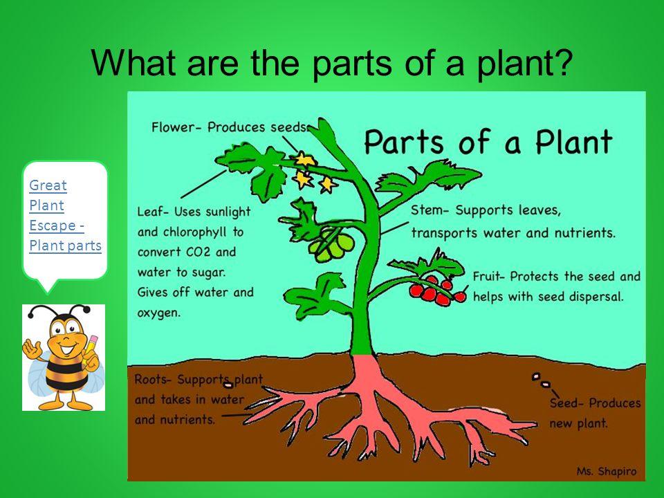 plant growth development grade 2 ppt download. Black Bedroom Furniture Sets. Home Design Ideas