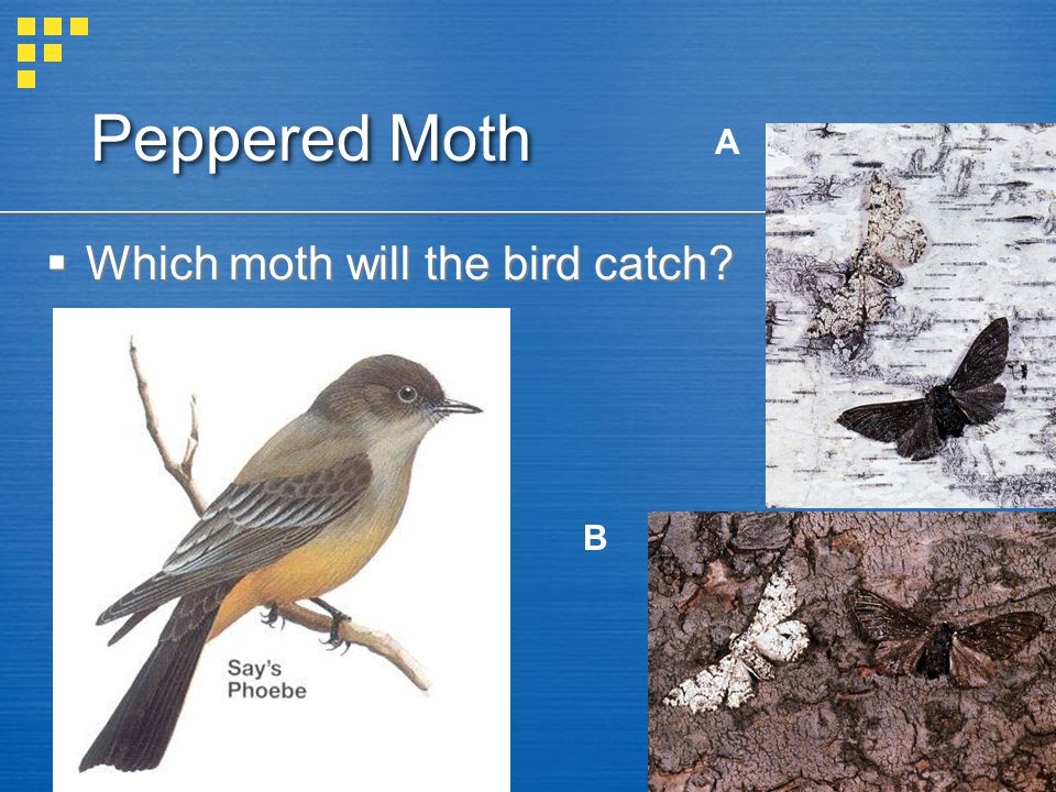 Peppered Moth A Which moth will the bird catch B