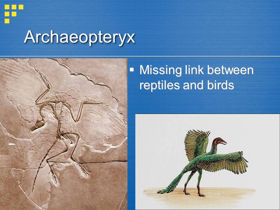 Archaeopteryx Missing link between reptiles and birds