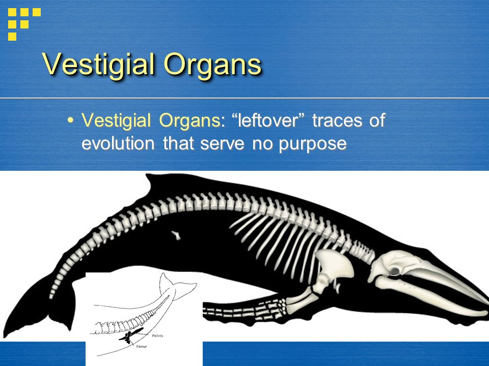 Vestigial Organs Vestigial Organs: leftover traces of evolution that serve no purpose