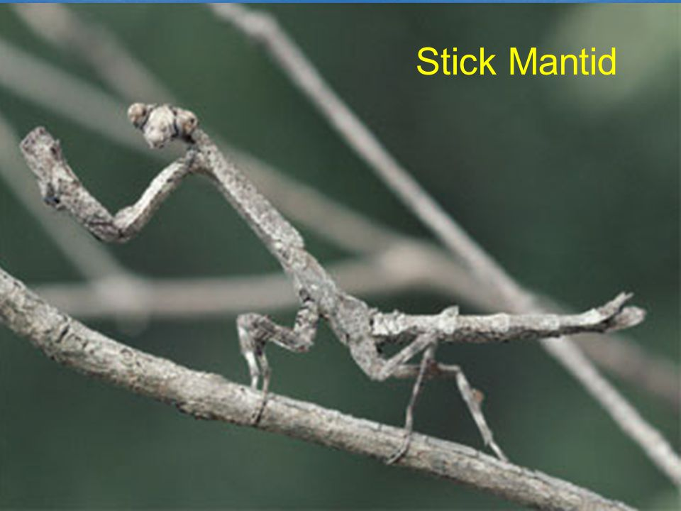 Stick Mantid