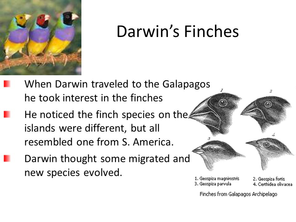 Darwin's Finches When Darwin traveled to the Galapagos he took interest in the finches.