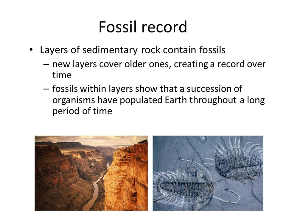 Fossil record Layers of sedimentary rock contain fossils