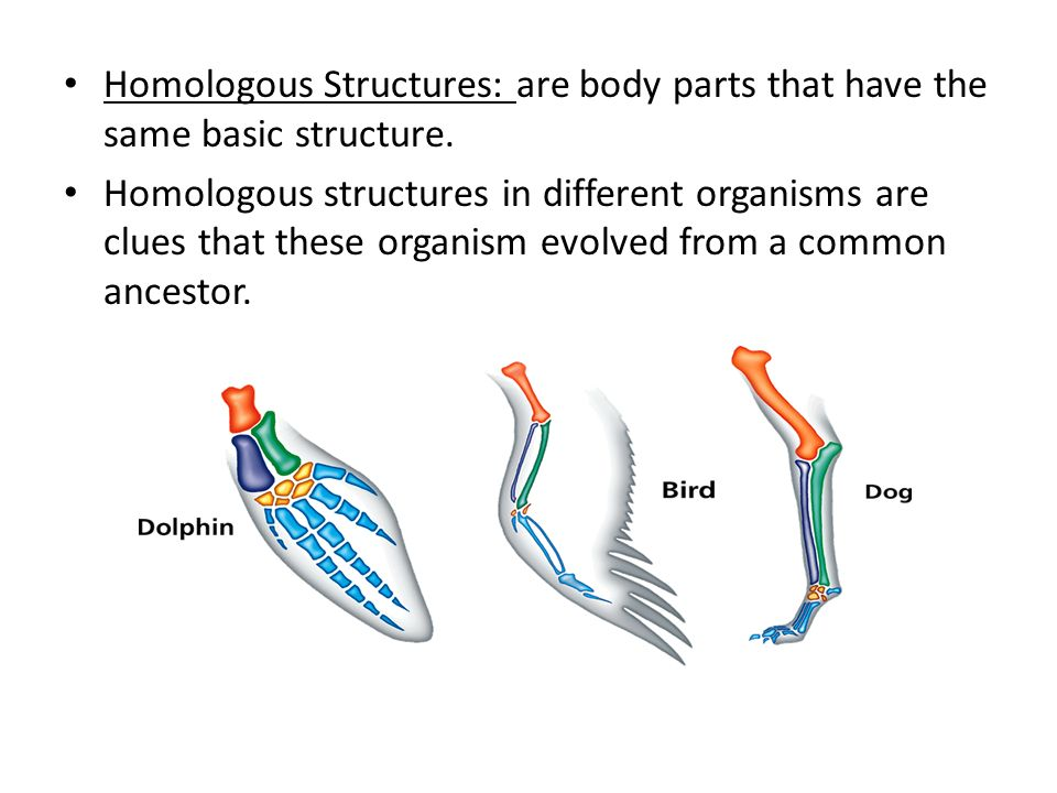 Homologous Structures: are body parts that have the same basic structure.