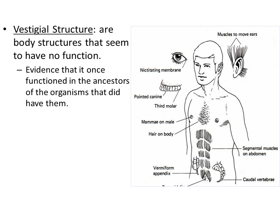 Vestigial Structure: are body structures that seem to have no function.