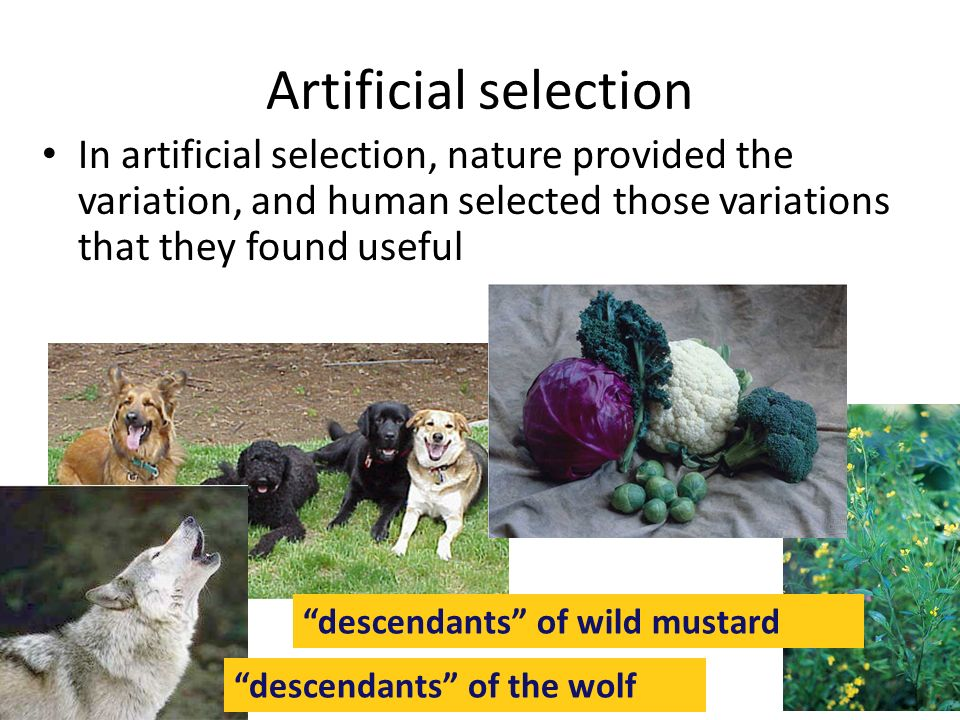 Artificial selection In artificial selection, nature provided the variation, and human selected those variations that they found useful.