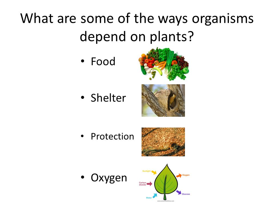 What Organelle Makes Food For Plants