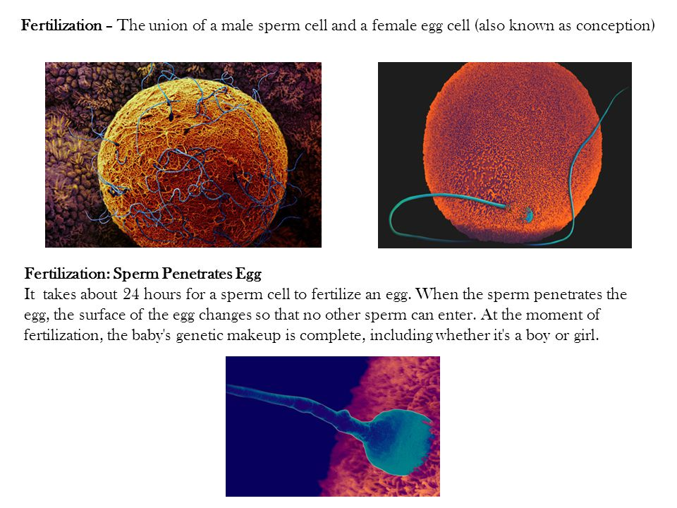 Fertilization – The union of a male sperm cell and a female egg cell (also known as conception)