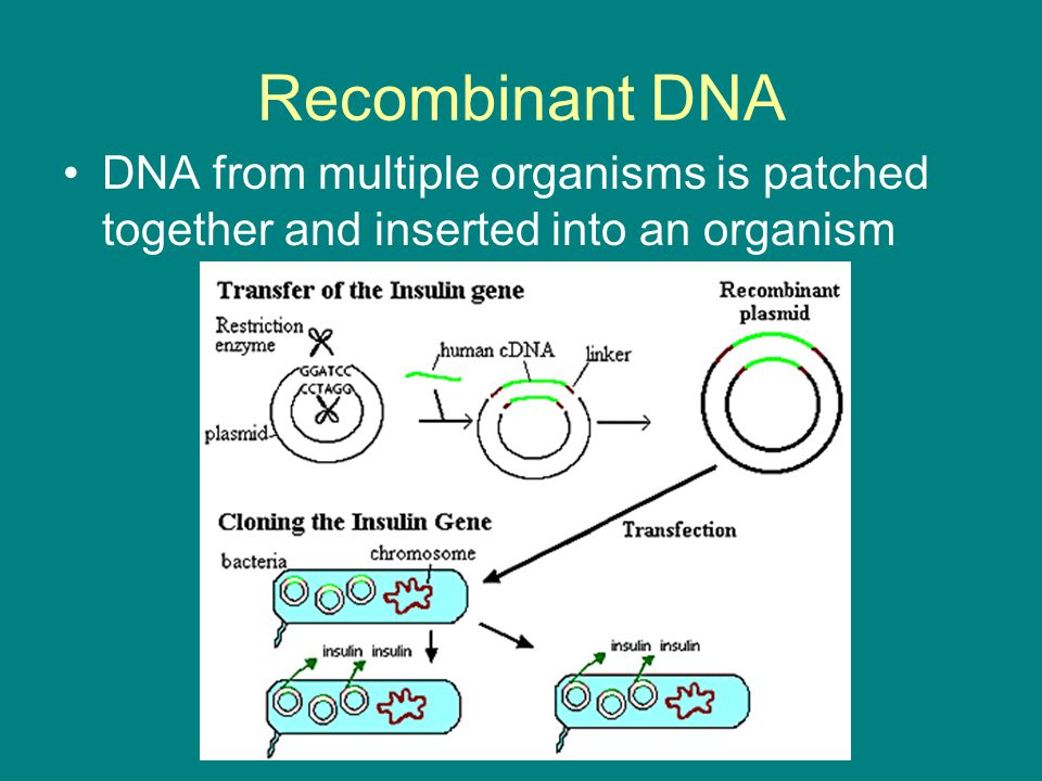 Recombinant DNA DNA from multiple organisms is patched together and inserted into an organism