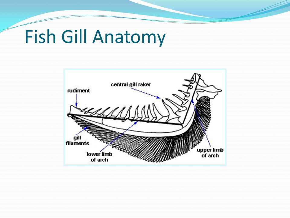 Attractive Fish Gill Anatomy Images Anatomy And Physiology Biology