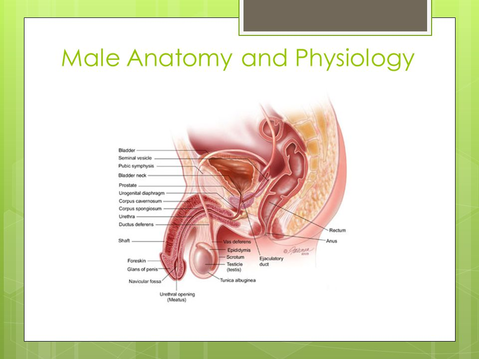 Male Anatomy and Physiology