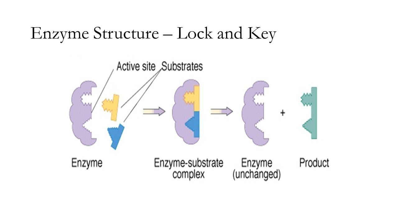 lock and key model of enzymes pdf