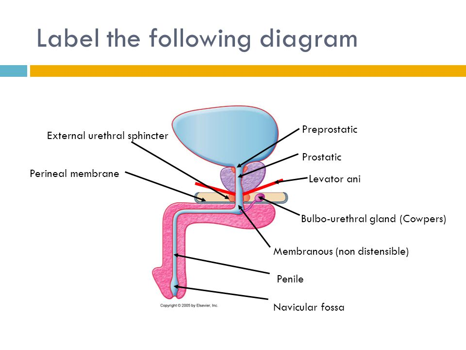 male reproductive anatomy ppt video online download. Black Bedroom Furniture Sets. Home Design Ideas