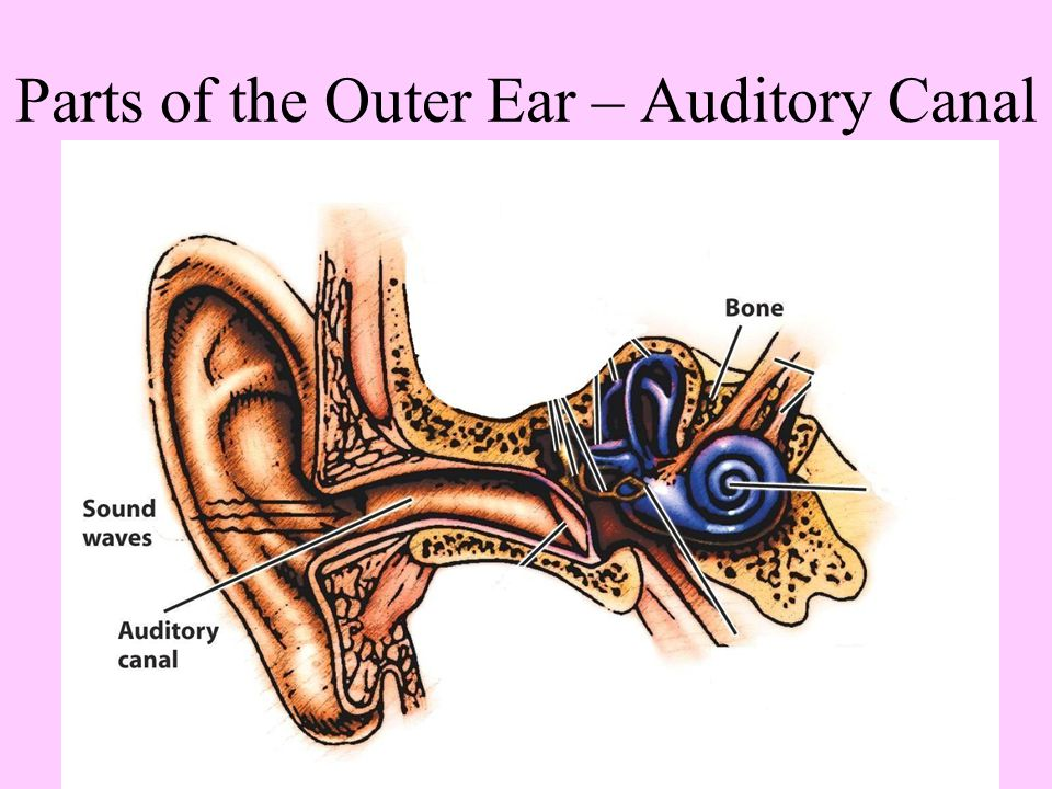 Parts of the Outer Ear – Auditory Canal