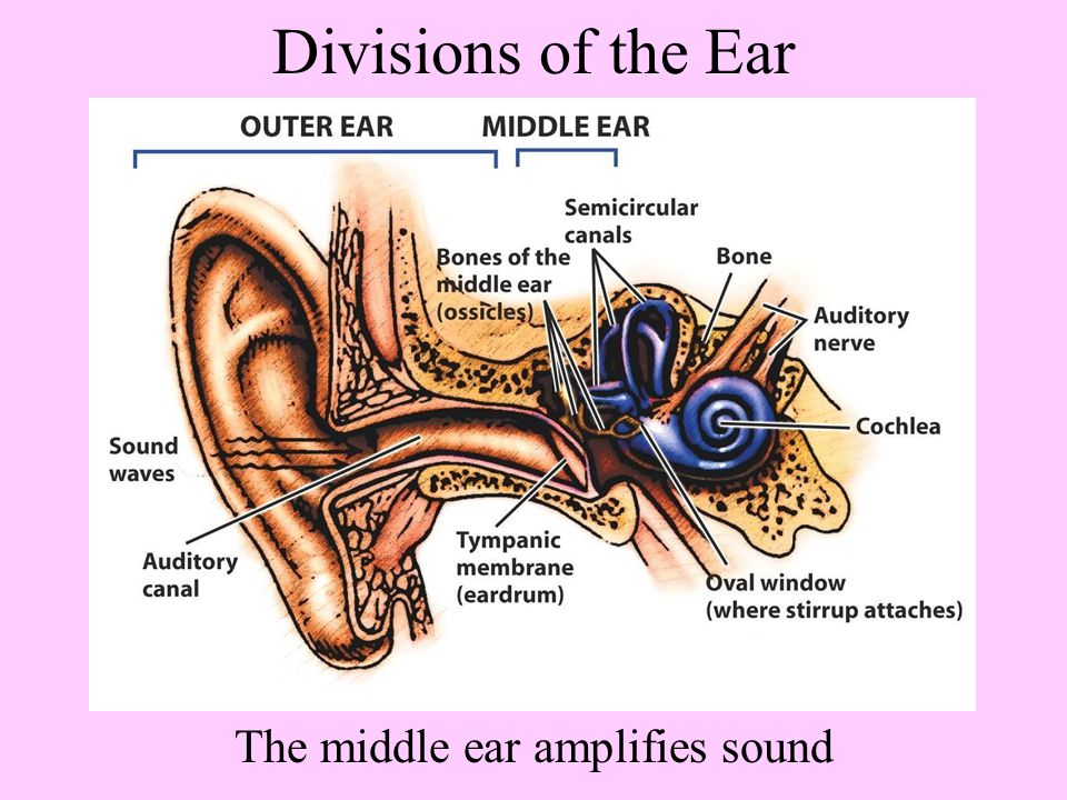 The middle ear amplifies sound