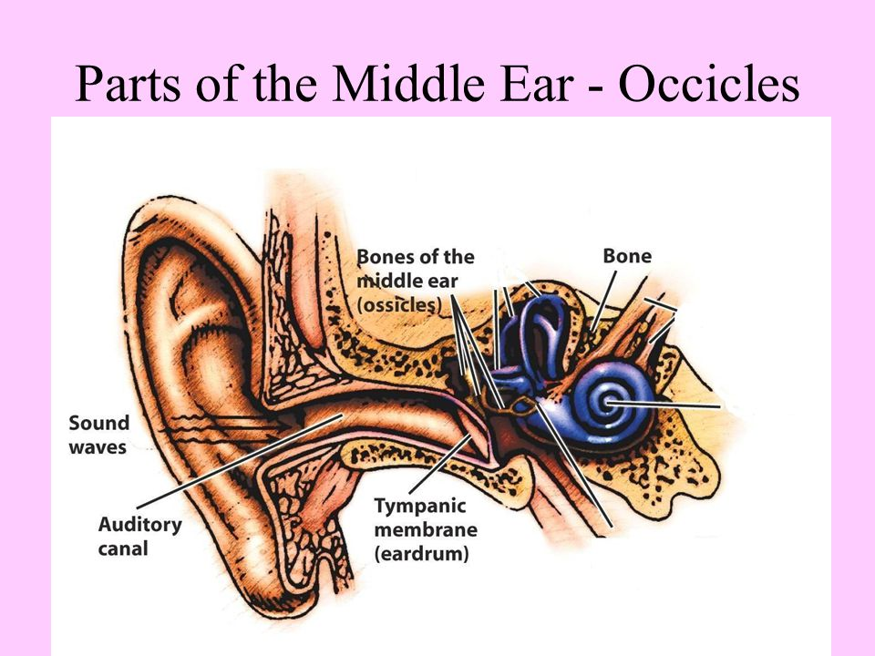 Parts of the Middle Ear - Occicles