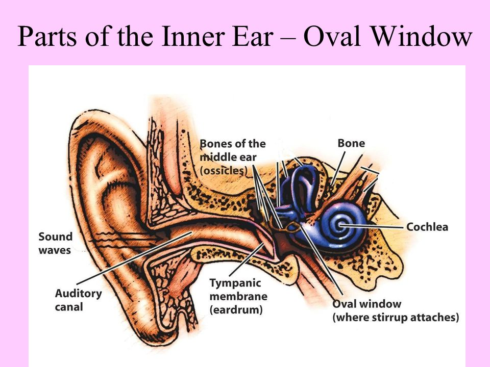 Parts of the Inner Ear – Oval Window