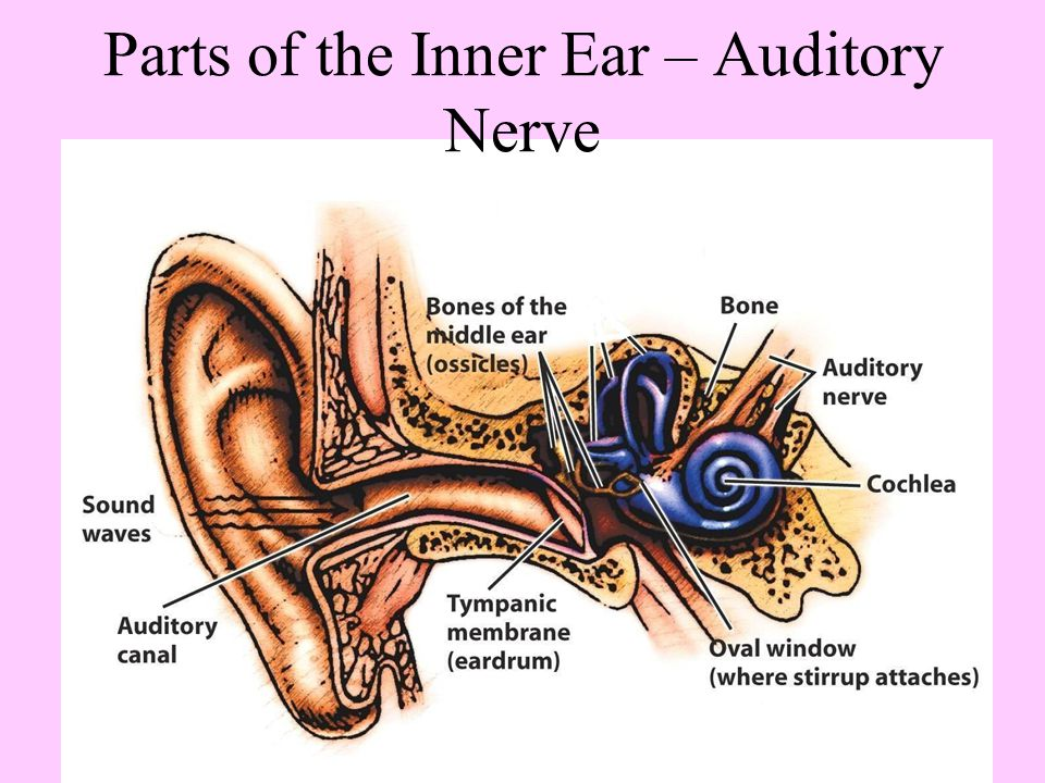 Parts of the Inner Ear – Auditory Nerve