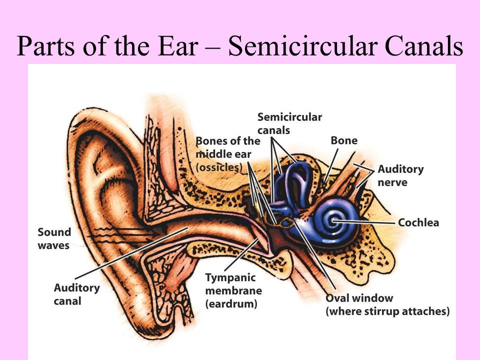 Parts of the Ear – Semicircular Canals