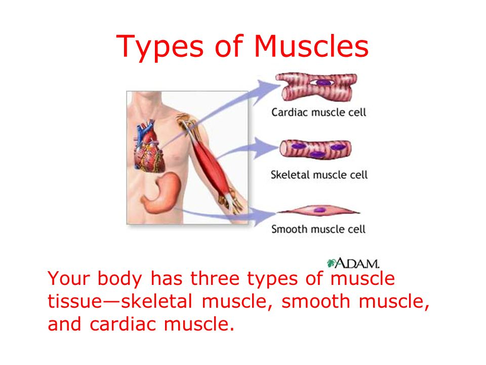 MUSCLES-STRUCTURE AND FUNCTION