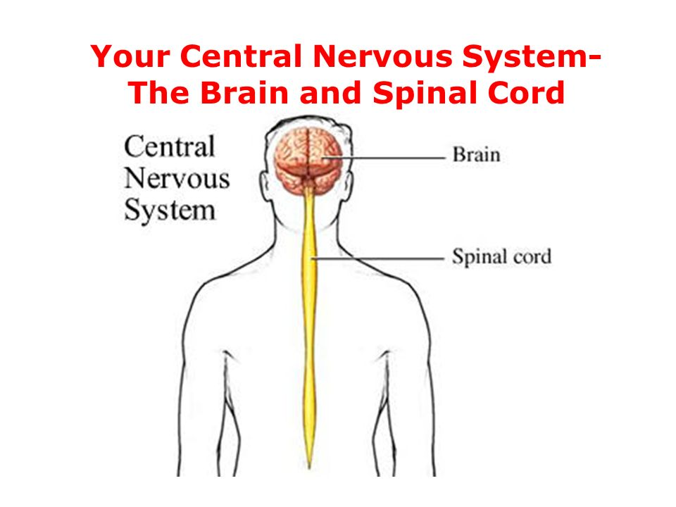 a study of the brain and the nervous system of the human body The nervous system is broken down into two major systems: central nervous system and peripheral nervous system we'll discuss the central nervous system first the central nervous system consists of the brain and the spinal cord the cerebral cortex, which is involved in a variety of higher.