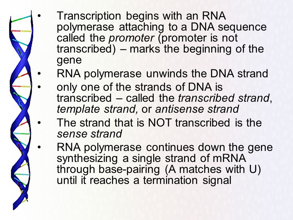 Transcription begins with an RNA polymerase attaching to a DNA sequence called the promoter (promoter is not transcribed) – marks the beginning of the gene