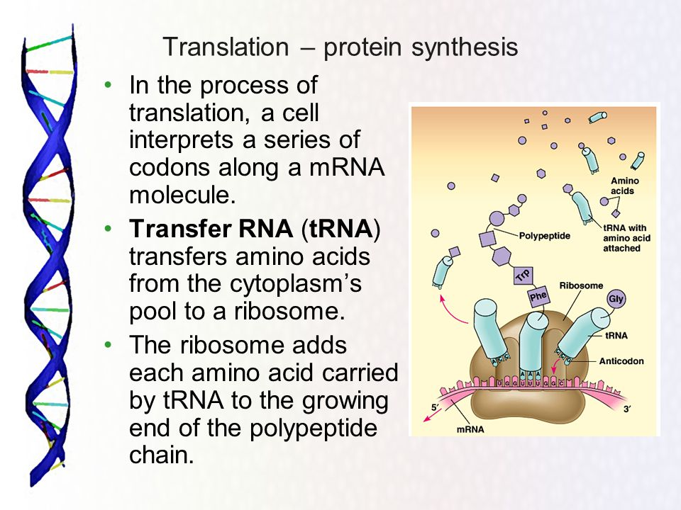 Translation – protein synthesis