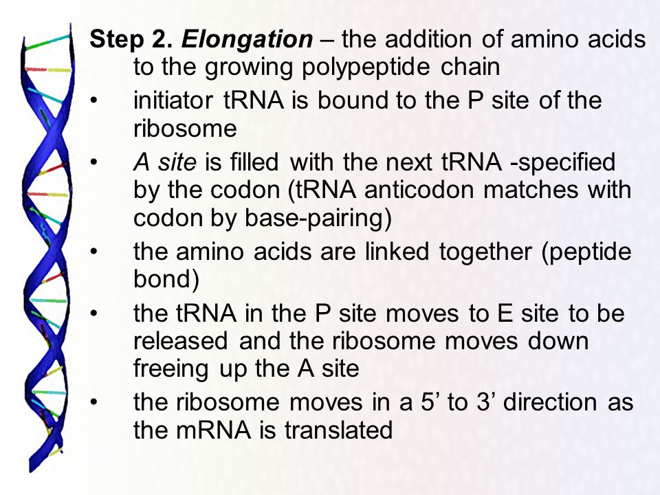 Step 2. Elongation – the addition of amino acids to the growing polypeptide chain