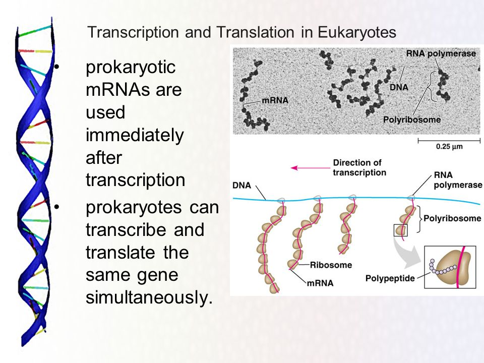 Transcription and Translation in Eukaryotes
