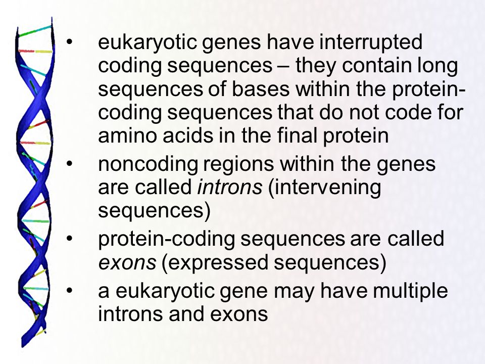 eukaryotic genes have interrupted coding sequences – they contain long sequences of bases within the protein-coding sequences that do not code for amino acids in the final protein