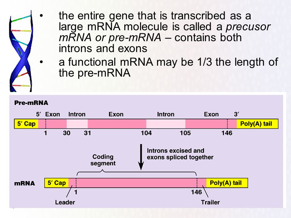 the entire gene that is transcribed as a large mRNA molecule is called a precusor mRNA or pre-mRNA – contains both introns and exons