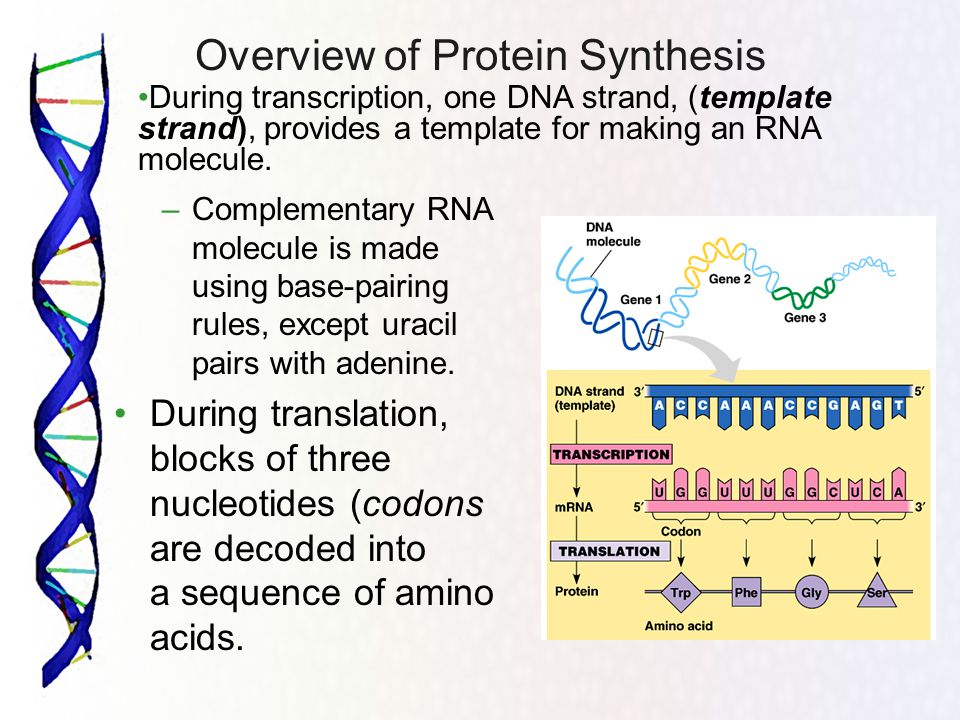 Overview of Protein Synthesis